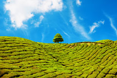 Bello paesaggio della piantagione di tè in Cameron Highlands, Malesia Fotografia Stock Libera da Diritti