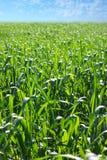 Bello paesaggio della primavera o di estate del campo dei raccolti Immagini Stock