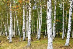 Bello paesaggio delle betulle bianche in autum 2 Fotografie Stock Libere da Diritti