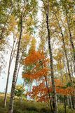 Bello paesaggio delle betulle bianche in autum 4 Fotografia Stock Libera da Diritti