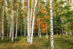 Bello paesaggio delle betulle bianche in autum 5 Immagine Stock