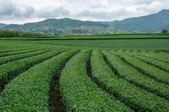 Bello paesaggio delle file delle piantagioni di tè del oolong fotografia stock libera da diritti