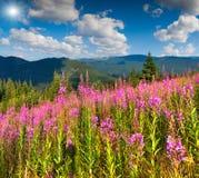 Bello paesaggio di estate in montagne con i fiori rosa Fotografia Stock