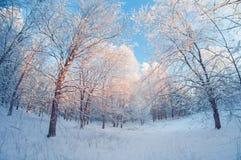 Bello paesaggio di inverno, foresta nevosa il giorno soleggiato, fish-eye di prospettiva di distorsione, alberi nevosi con cielo  fotografia stock
