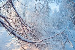 Bello paesaggio di inverno, foresta nevosa un giorno soleggiato, distorsione dell'occhio di pesce, alberi nevosi alti con un ciel immagini stock