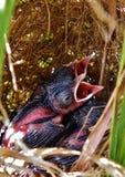 Bello paesaggio di piccoli uccelli all'alimento aspettante del nido Fotografia Stock Libera da Diritti