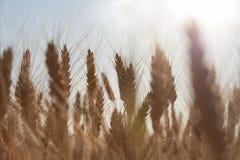 Bello paesaggio di tramonto della natura Orecchie della fine dorata del grano su Scena rurale nell'ambito di luce solare Fondo di Immagini Stock Libere da Diritti