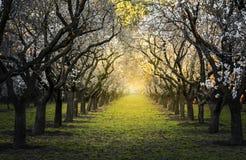 Bello paesaggio fra i mandorli alla luce gialla di sera Fotografia Stock