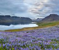 Bello paesaggio islandese con il campo nella priorità alta e nelle montagne ed i fiordi nei precedenti Fotografie Stock Libere da Diritti
