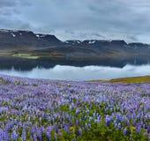 Bello paesaggio islandese con il campo nella priorità alta e nelle montagne ed i fiordi nei precedenti Fotografia Stock