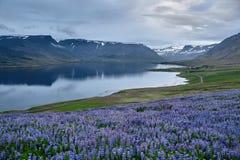 Bello paesaggio islandese con il campo nella priorità alta e nelle montagne ed i fiordi nei precedenti Immagini Stock Libere da Diritti