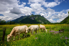 Bello paesaggio nelle alpi con le mucche che pascono nei prati verdi, nella campagna tipica e nell'azienda agricola fra le montag Fotografia Stock