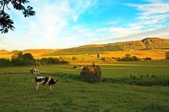 Bello paesaggio scozzese con le mucche Fotografie Stock Libere da Diritti