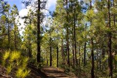 Bello panorama dell'abetaia con il giorno di estate soleggiato Conifere Ecosistema sostenibile Tenerife, Teide fotografie stock