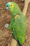 Bello pappagallo affrontato giallo Fotografie Stock Libere da Diritti