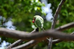 Bello pappagallo con alimento rosso su Tenerife immagine stock libera da diritti