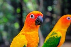 Bello pappagallo, conuro di Sun immagini stock