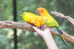 Bello pappagallo di conuro di Sun che mangia da una mano Fotografia Stock Libera da Diritti