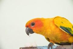 Bello pappagallo giallo, uccello di conuro di Sun del primo piano che mangia alimento Immagini Stock