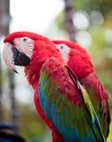 Bello pappagallo variopinto Immagini Stock