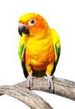 Bello pappagallo variopinto, conuro di Sun (solstitialis) di Aratinga, g Fotografia Stock