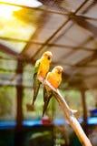 Bello pappagallo variopinto, conuro di Sun (solstitialis) di Aratinga, g Immagini Stock