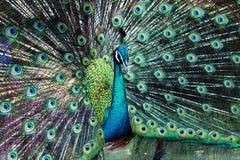 Bello pavone Fotografia Stock Libera da Diritti