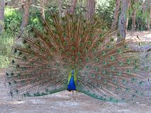 Bello pavone con le piume aperte alla foresta di plaka, Kos, Grecia Immagine Stock