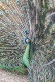 Bello pavone con le piume fuori Fotografia Stock
