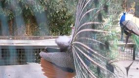 Bello pavone di Dancing primo piano, vista tramite il recinto sulla coda di un pavone durante il ballo di nozze 4k, lento archivi video