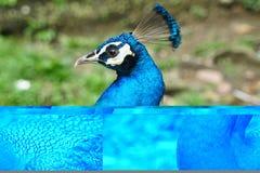 Bello pavone indiano Immagine Stock