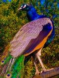 Bello pavone maschio appollaiato sulla ferrovia del metallo all'azienda agricola in Washington State Stati Uniti immagini stock libere da diritti