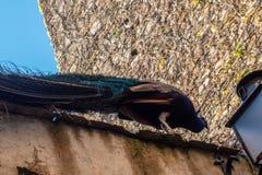 Bello pavone nelle altezze Fotografia Stock