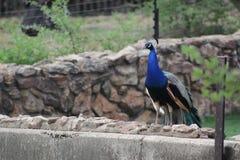 Bello peacok maschio visto allo zoo di Johannesburg Fotografie Stock Libere da Diritti
