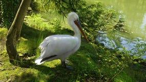 Bello pellicano nella foresta vicino al lago fotografia stock libera da diritti