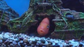 Bello pesce arancio in acqua blu in acquario, mondo subacqueo, fondo archivi video