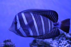 Bello pesce blu alla luce blu Immagine Stock