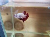 bello pesce combattente siamese bianco immagini stock libere da diritti
