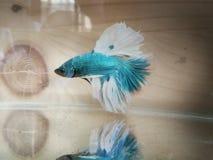 bello pesce combattente siamese bianco fotografie stock libere da diritti