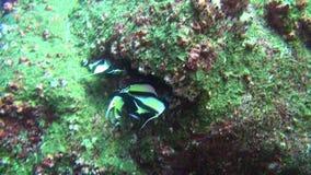 Bello pesce del fondo sul paesaggio di verde underwater in mare di Galapagos stock footage