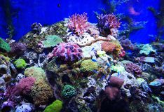 Bello pesce della farfalla e Coral Reefs splendida immagini stock