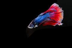 Bello pesce di betta di colore sopra isolato su backgrund nero Fotografia Stock
