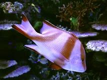 Bello pesce di corallo in acqua blu Fotografia Stock