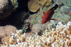 Bello pesce epinefolo Fotografia Stock