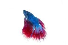 Bello pesce isolato di betta Fotografie Stock