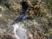 Bello pesce in Mar Rosso, Egitto Immagine Stock