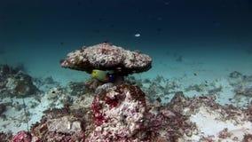 Bello pesce stupefacente subacqueo su fondo di fondale marino in Maldive archivi video