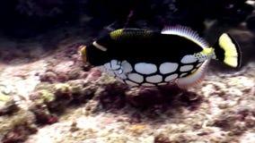 Bello pesce stupefacente subacqueo su fondo di fondale marino in Maldive stock footage