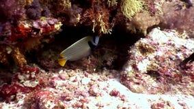 Bello pesce stupefacente subacqueo su fondo di fondale marino in Maldive video d archivio