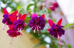 Bello petalo del fiore nella porpora Fotografie Stock Libere da Diritti
